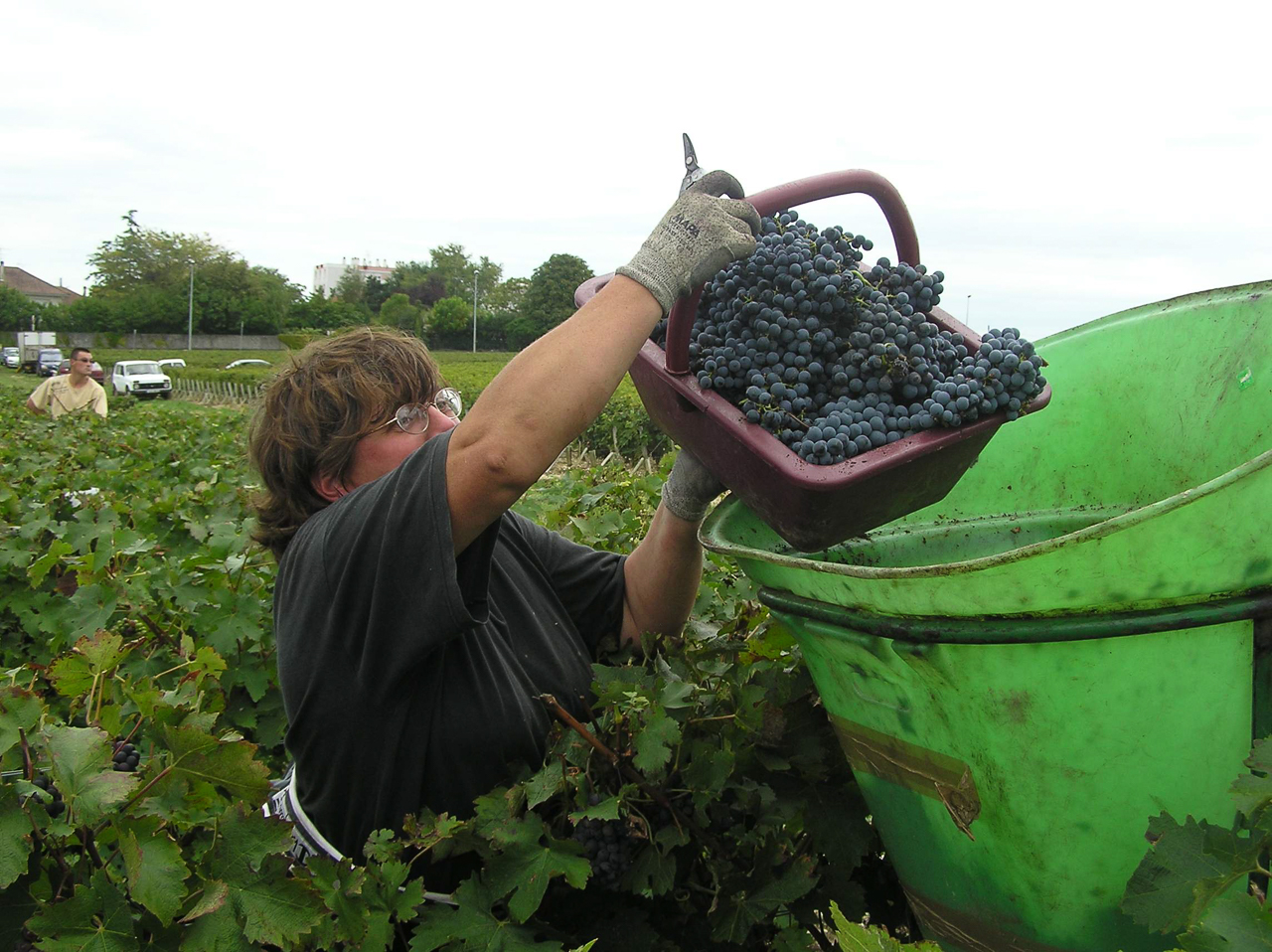 Picking Grapes - In Bordeaux